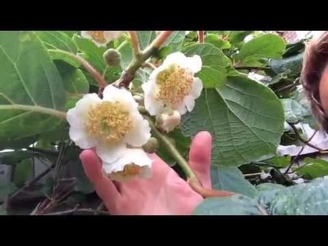 Kiwi Flowers In The Uk Youtube