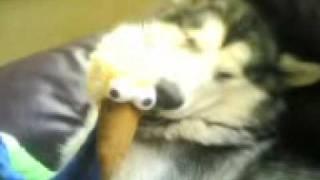 Kia, Alaskan Malamute sleeping with toy