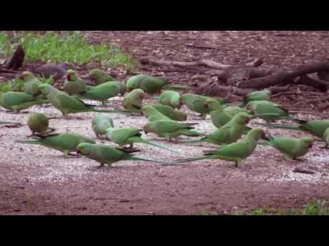 Parrots high quality audio