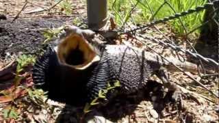 Eastern Bearded Dragon Lizard Attacks Camera