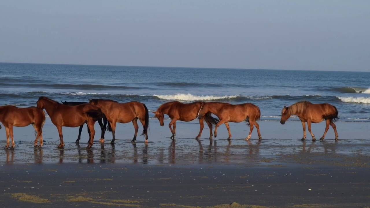 Carova Nc Beach Driving And Wild Horses After Hurricane Hermine