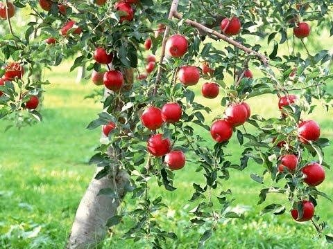 Mondini Plantas: Como Cultivar Maça