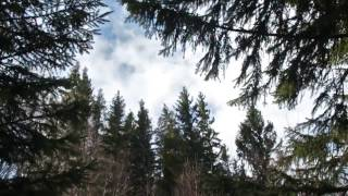 Strong Wind Blowing Through Spruce Forest 1 Hour /  Wind Sound Relaxation