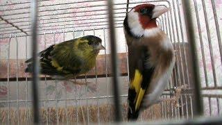 Птицы в клетке чиж и щегол живут в квартире