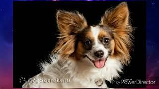 20 самых маленьких собак! Какая самая маленькая!?