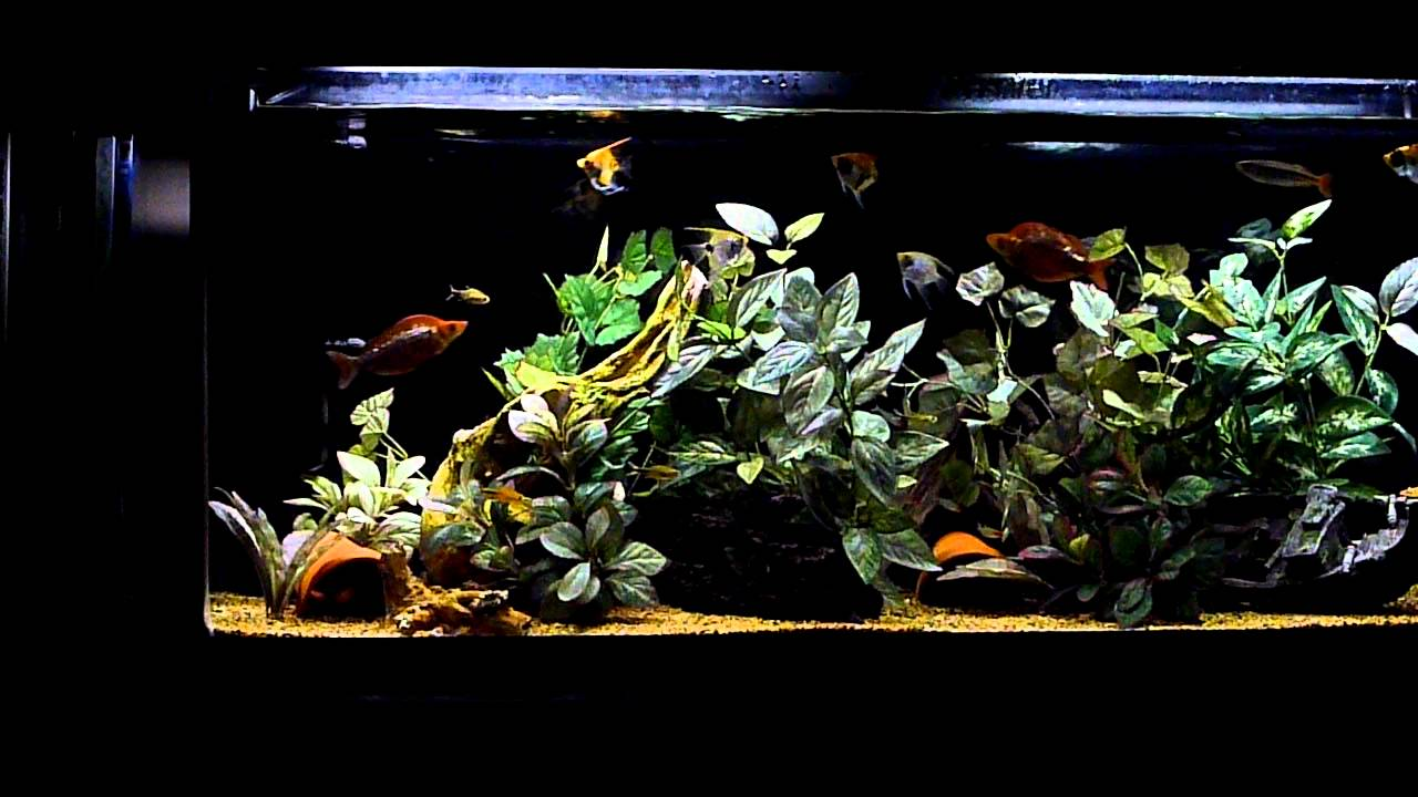 Freshwater aquarium fish angelfish - 55g Freshwater Aquarium Featuring Angelfish And Rainbowfish