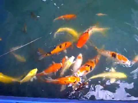 Koi fish cheap for sale youtube for Red koi fish for sale