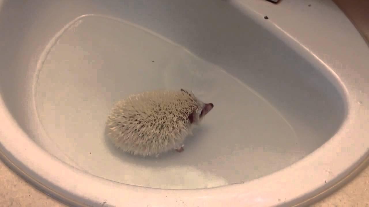 Hedgehog Bath Youtube