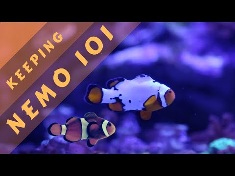 Clownfish Care: Everything You Need To KNOW!!