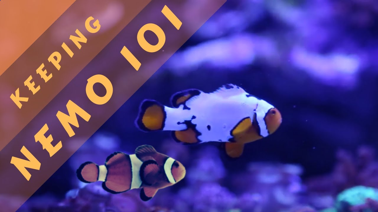How to Care for a Clown Fish (with Pictures) - wikiHow