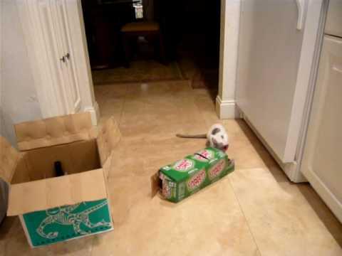 Rita the Cornish Rex terrorizes the Chihuahua