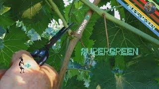 Spollonatura o potatura verde della vite per migliorare la maturazione dell'uva