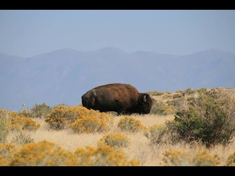 Bison-cattle interactions on the Henry Mountains of Utah
