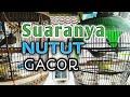 Perkutut Lokal Gacor Suaranya Nutut Super Agresif Memancing Lawan Jenis  Mp3 - Mp4 Download