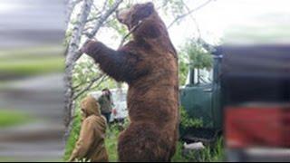 Гигантский медведь убийца «навестил» жителей камчатского села