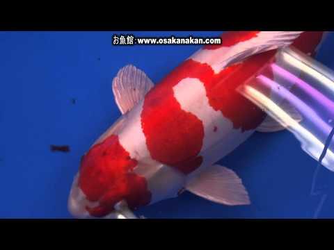 第42回 全日本総合錦鯉品評会 種別日本一賞 第80部 光り模様 Nishikigoi