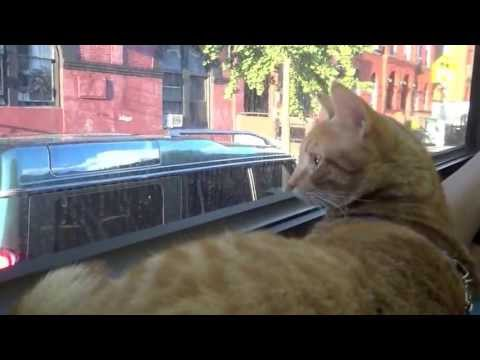 tabby cat rides the NYC bus