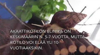 Akaattikotilo - Achatina fulica