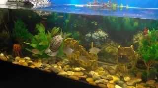Террариум 600 литров! Красноухая и Ривза черепахи с рыбками в аквариуме!