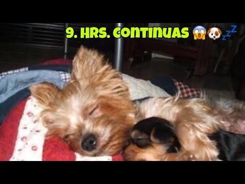 MÚSICA 🎶 RELAJANTE PARA YORKIES pero a todos los perros les ENCANTA Para relajar o dormir perros