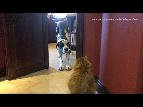 Funny Cat Teaches Great Dane About Temptations