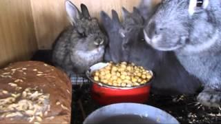 Чем можно и нужно кормить кроликов в зимнее время!!! Питание кормящих крольчих горохом!!!(В данном видео я объясню чем можно кормить кроликов, в зимнее время, в особенности кормящих крольчих до..., 2016-01-31T12:27:17.000Z)