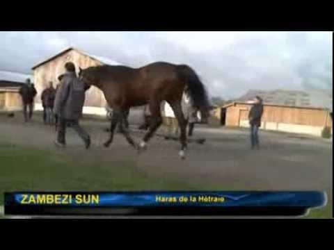 Zambezi Sun, en présentation lors de la Route des étalons 2013 - Haras de la Hetraie
