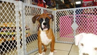 Boxer, Puppies, For, Sale, In, Bridgeport, Connecticut, Ct, Newington, Manchester, Naugatuck, Torrin