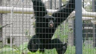 「おっさんの叫び声」?フクロテナガザル人気 名古屋・東山動植物園