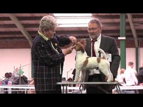 Jack Russell Terrier - Open Dog Class - National Terrier 2016