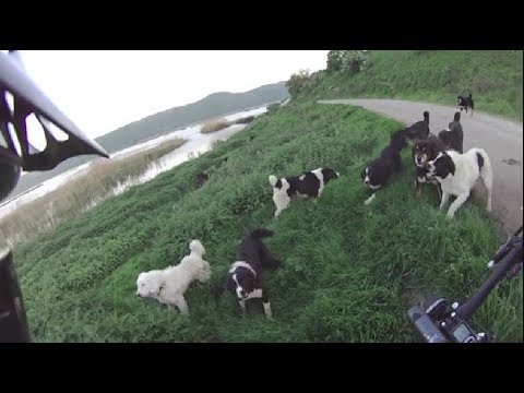 25 wild dogs against a cyclist.mp4
