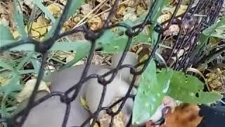 Грибы на пнях осенью в огороде