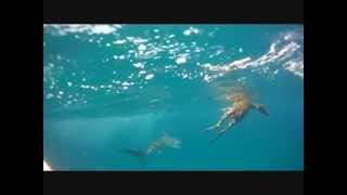 Un requin tigre mange une biche a l entree du port de Noumea - Shark's job!