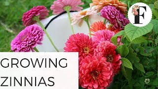 How to Grow Zinnias from Seed - Ornamental Cut Flower Gardening