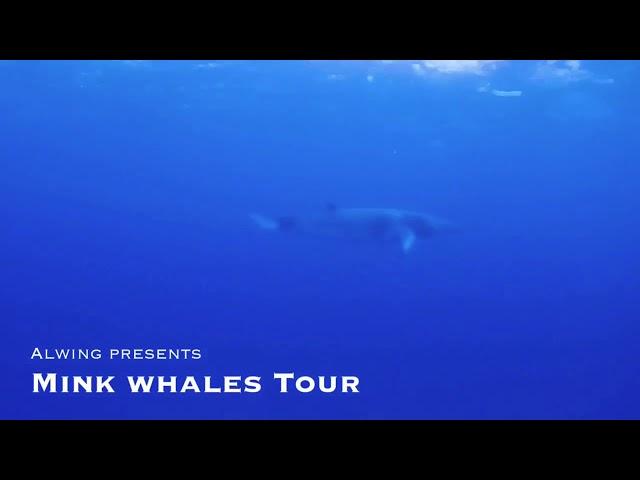 Get ready Get ready Encounter minke whales /ミンククジラに会いに行きませんか?