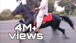 Kathiyawadi/marwari gaited horse
