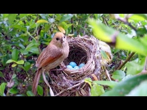 Bird hatching and brooding (HD)