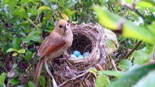 (HD) Bird hatching and brooding - 붉은머리오목눈이의 육추