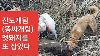 #48진돗개멧돼지사냥개ㅡ또잡았습니다한번에두마리ㅡ진도개사냥실전편 a wild boar hunt(shoot)