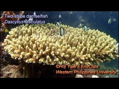 Two-stripe Damselfish