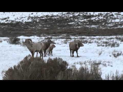 Moose, Bighorn & Bison - 2014-01-07