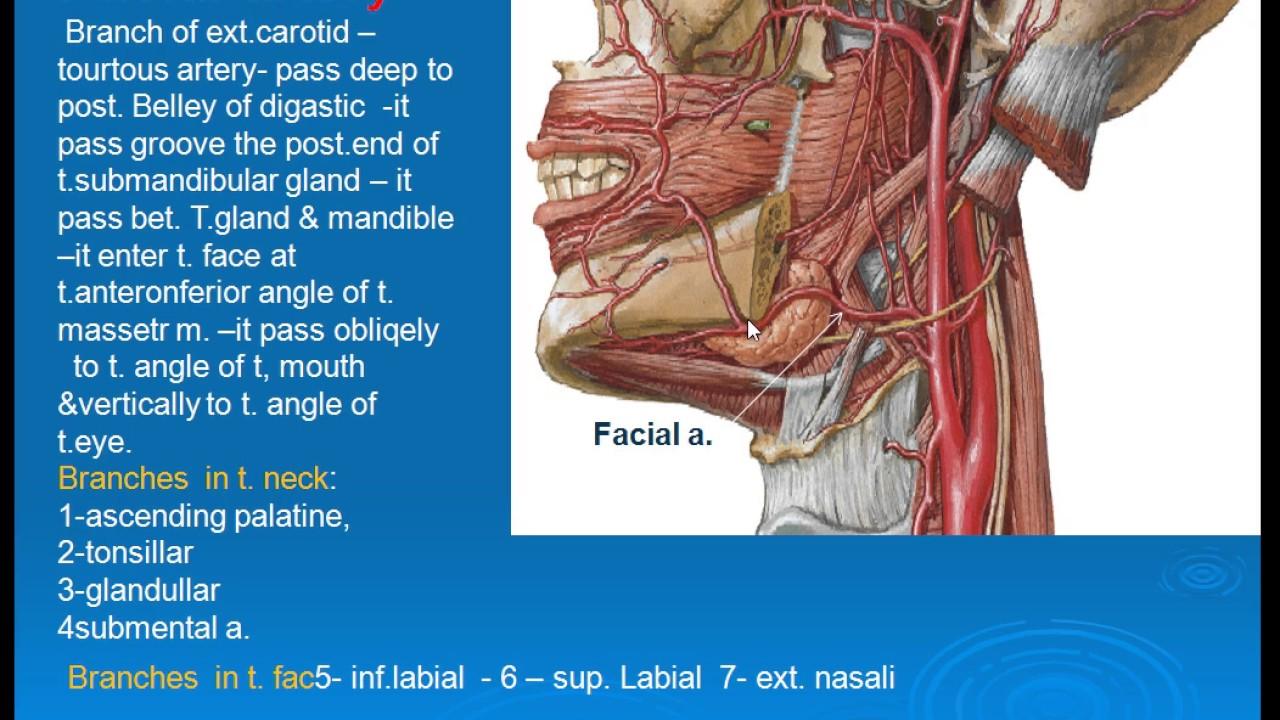 49 Facial artery - YouTube