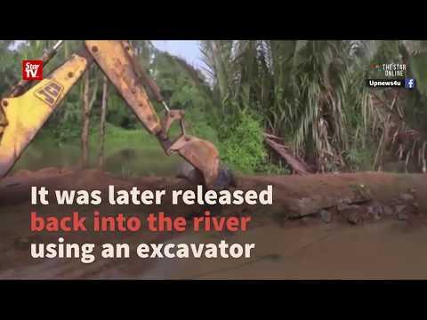 Viral giant croc video taken in Sri Lanka