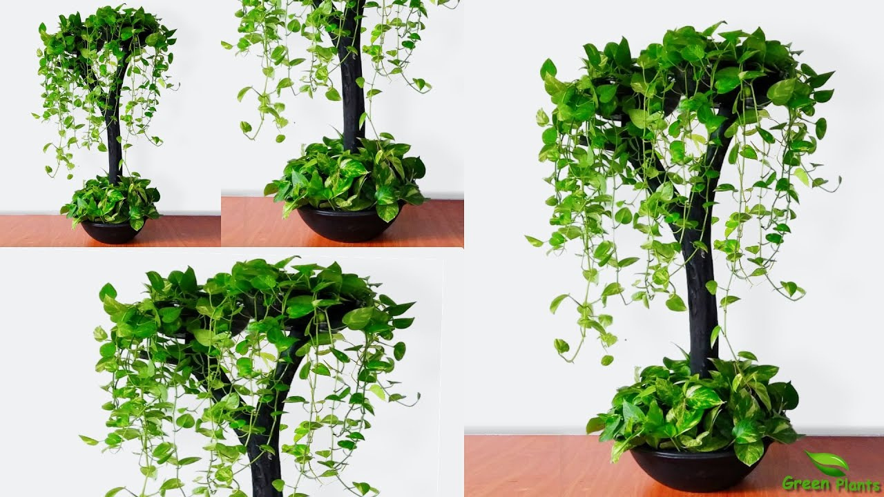 Cool Idea to Growing Money plants in Your living space | Money plant Hanging Idea//GREEN PLANTS