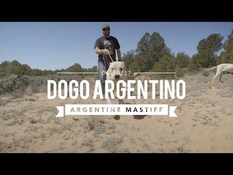 DOGO ARGENTINO THE BIG CAT HUNTER