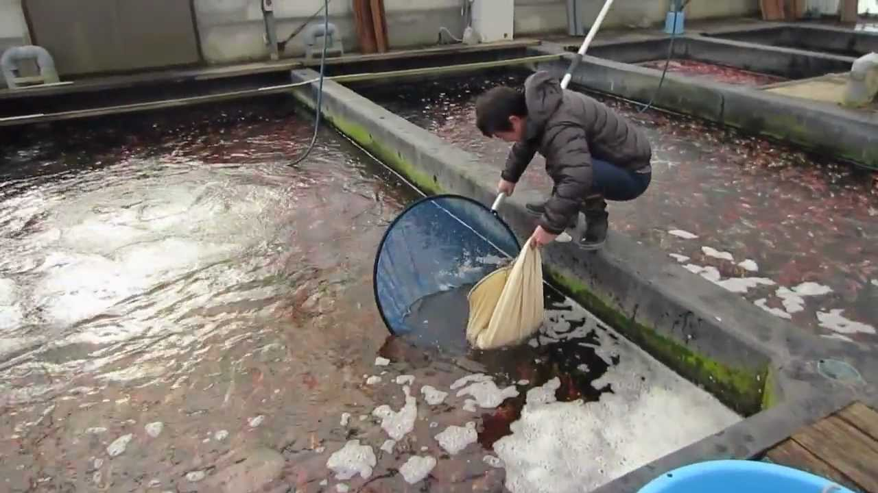 Niigata japan koi fish farm tour breeder kase koi farm for Koi carp farm