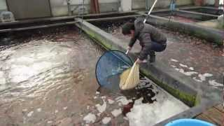 Niigata Japan Koi Fish Farm Tour - Breeder: Kase Koi Farm