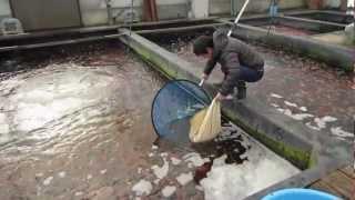 Niigata Japan Koi Fish Farm Tour - Breeder: Kase Koi Farm