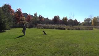 Suburban K9 Training A Dog Off Leash In Madison Wisconsin