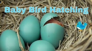 Repeat youtube video Baby Bird Hatching